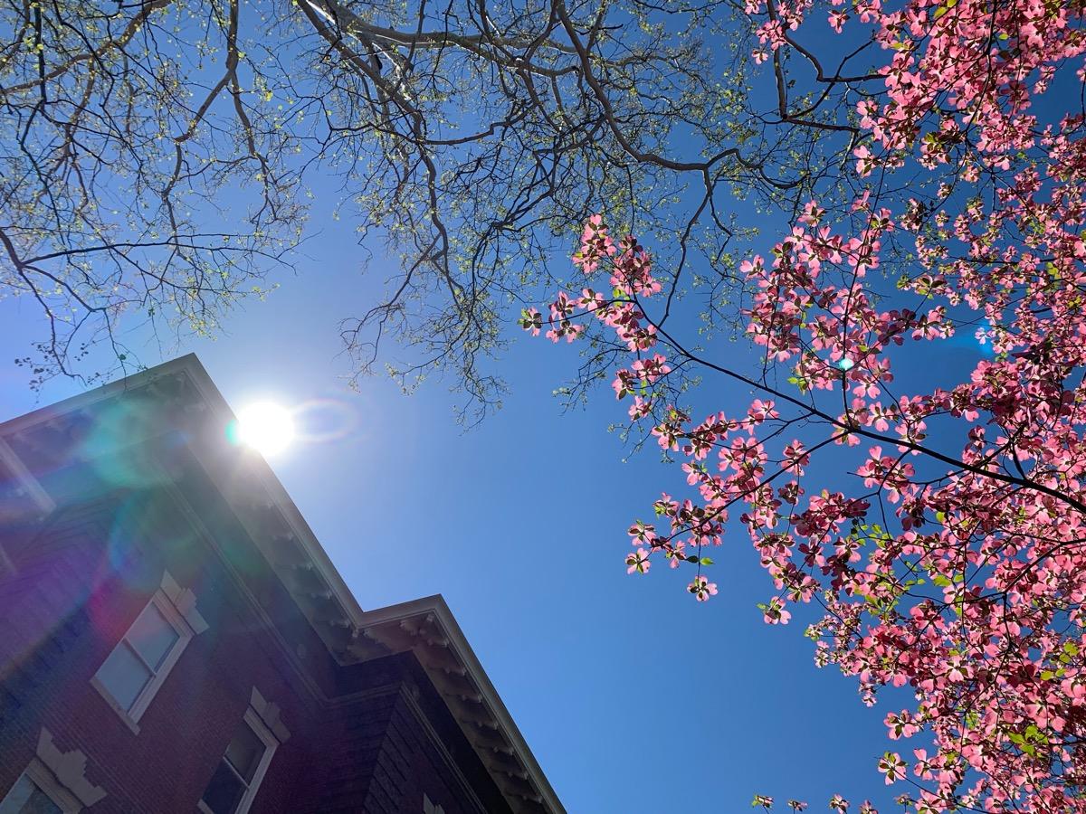 ohio university cherry blossoms