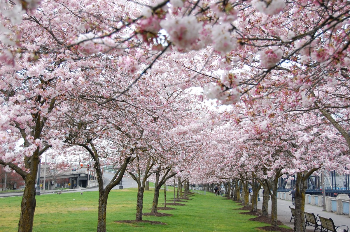 cherry blossoms at the japanese american historical plaza