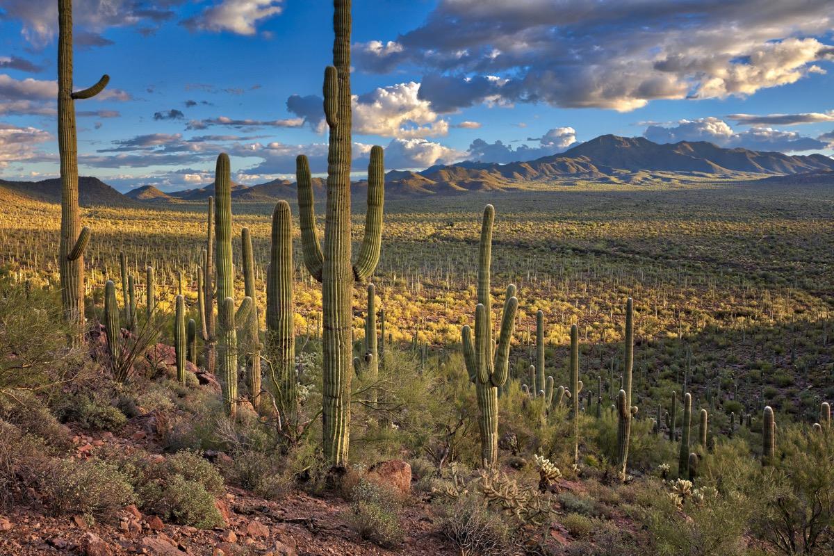 Saguaro National Park at sunset.