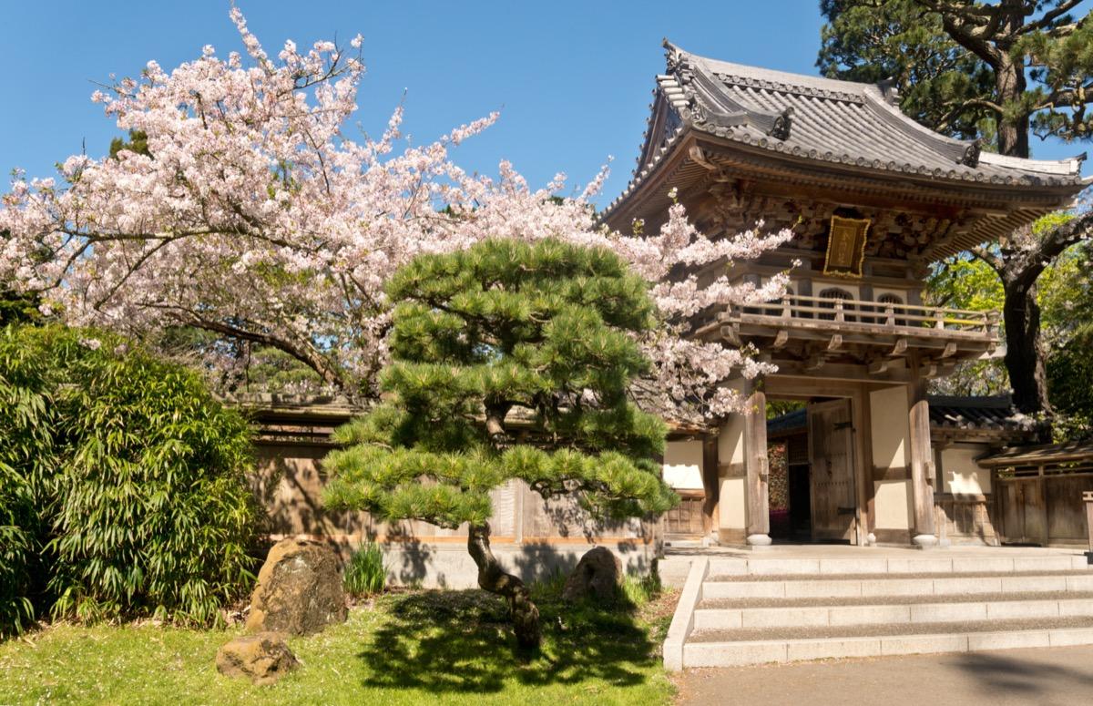 cherry blossoms around a japanese tea garden
