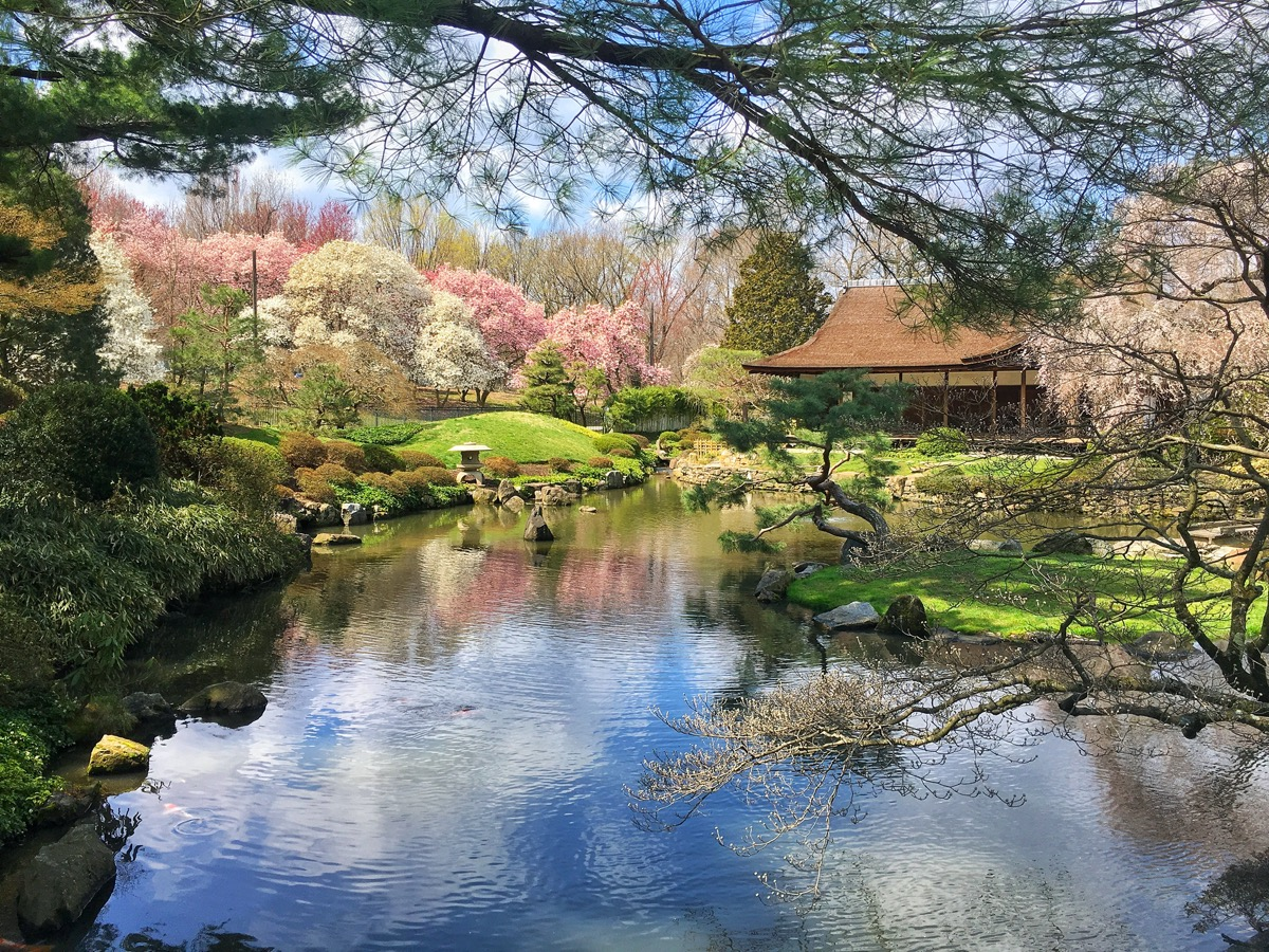 cherry blossoms around a pond in a japanese garden