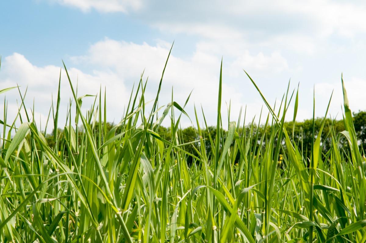 tall grass in a field that hasn't been cut