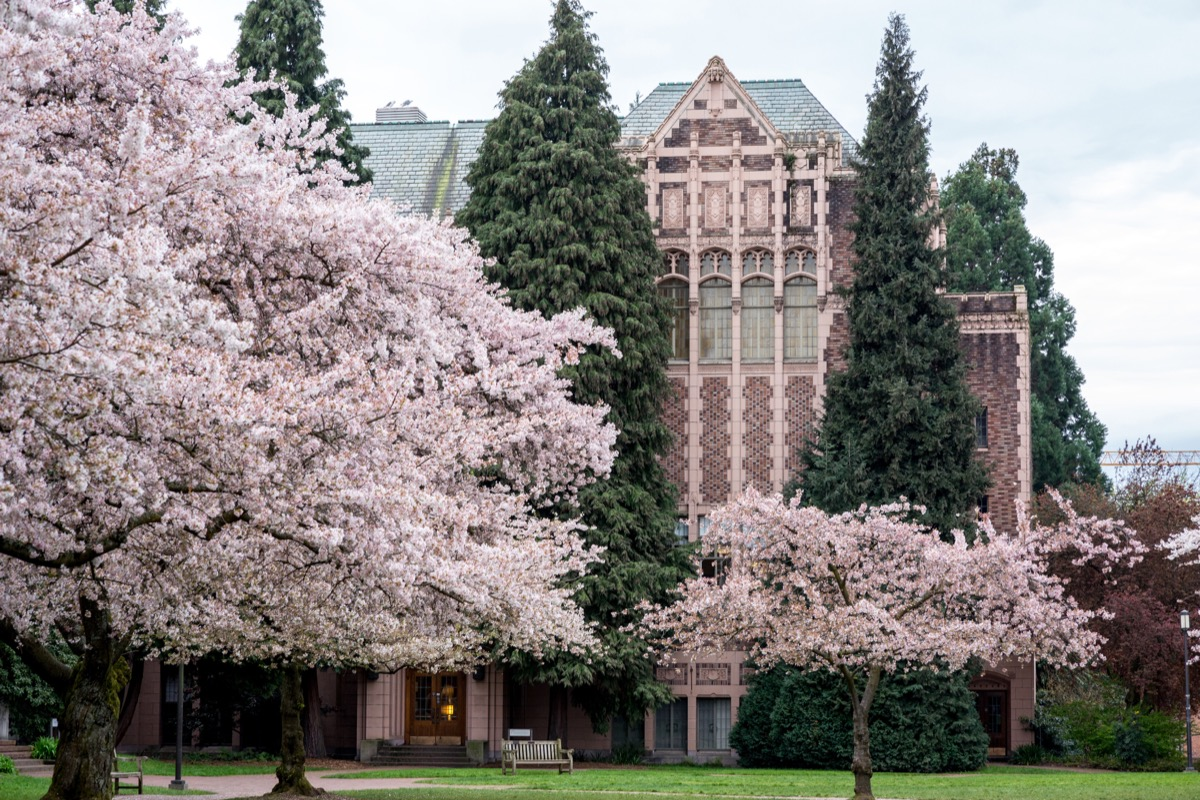 Cherry blossom trees in front of a gowen hall building in the University of Washington