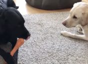 dogs arguing over chew toy in quarantine