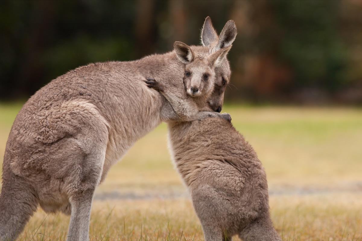 kangaroos hugging in a field