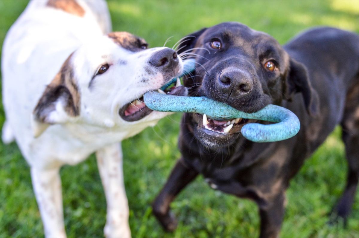 Mixed breed puppy and black labrador retriever playing with a tug of war toy together outdoors