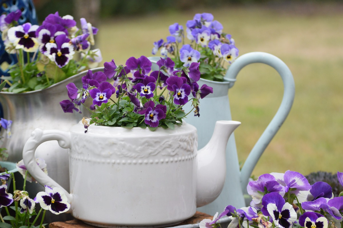 Blooming Pansy and Viola Plants in Old Fashioned Teapot and Metal Pitchers
