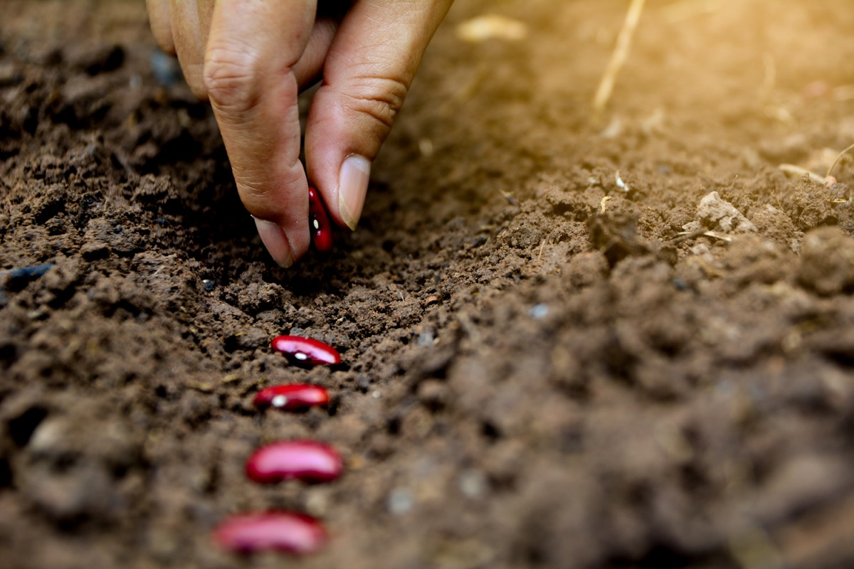 Hands putting red bean seed in the ground