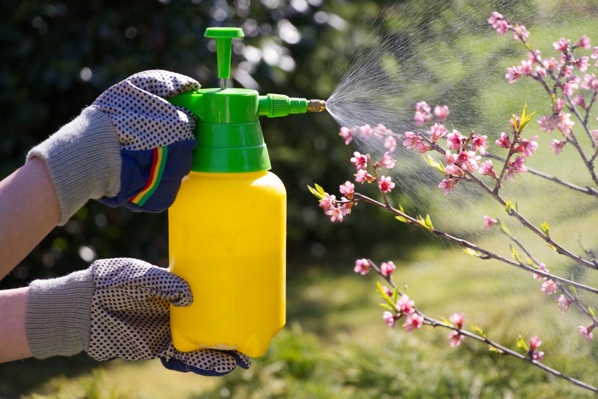 Spraying plant with pesticides