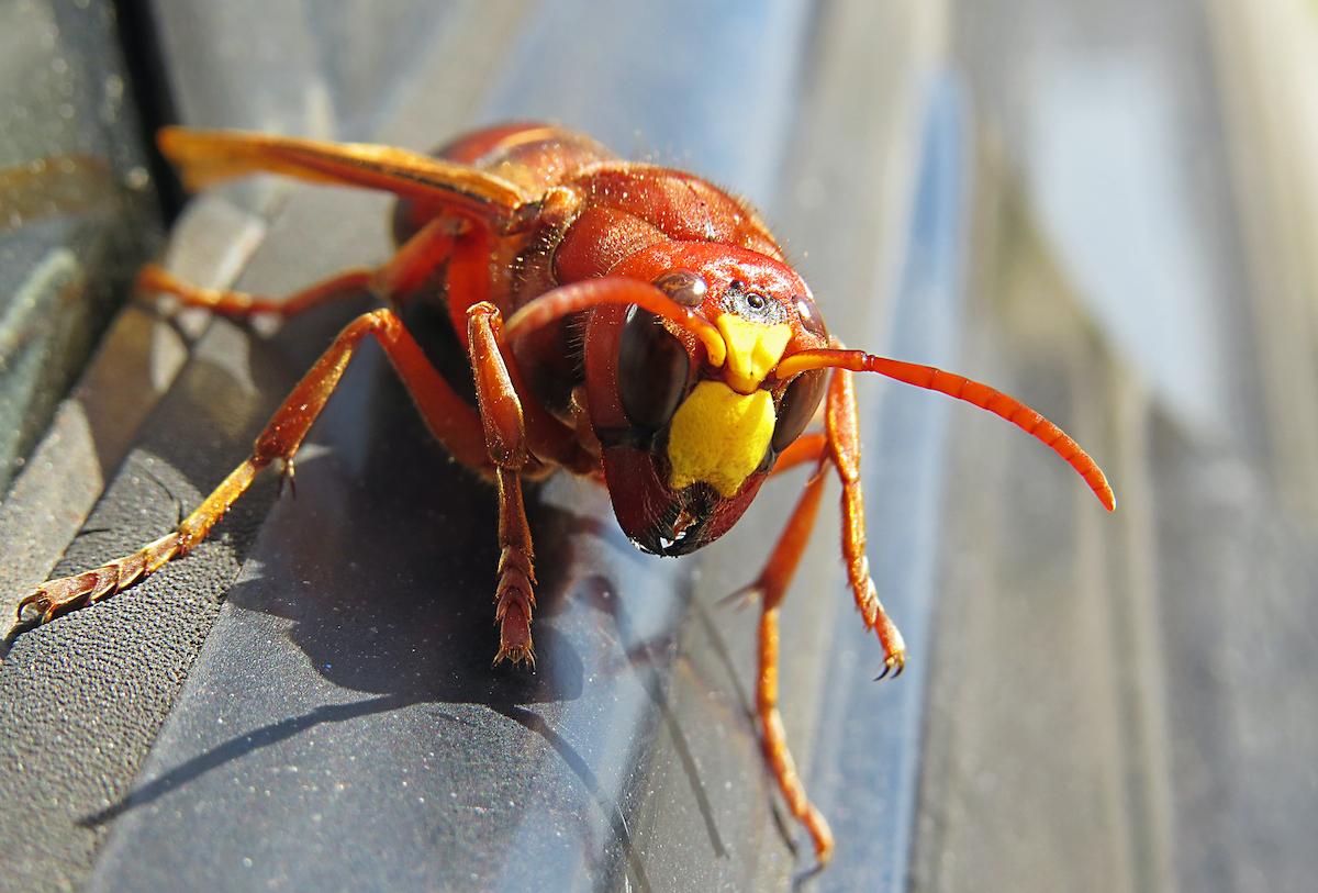 murder hornet on door of car