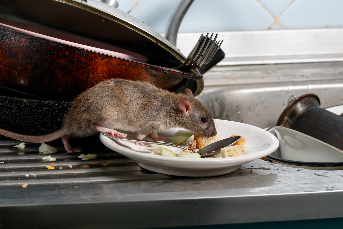 rat eating food on counter in plate