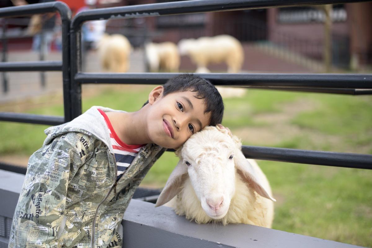 young asian boy cuddling with sheep at petting zoo