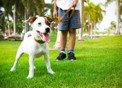 Owner and Jack Russell terrier walking in a park