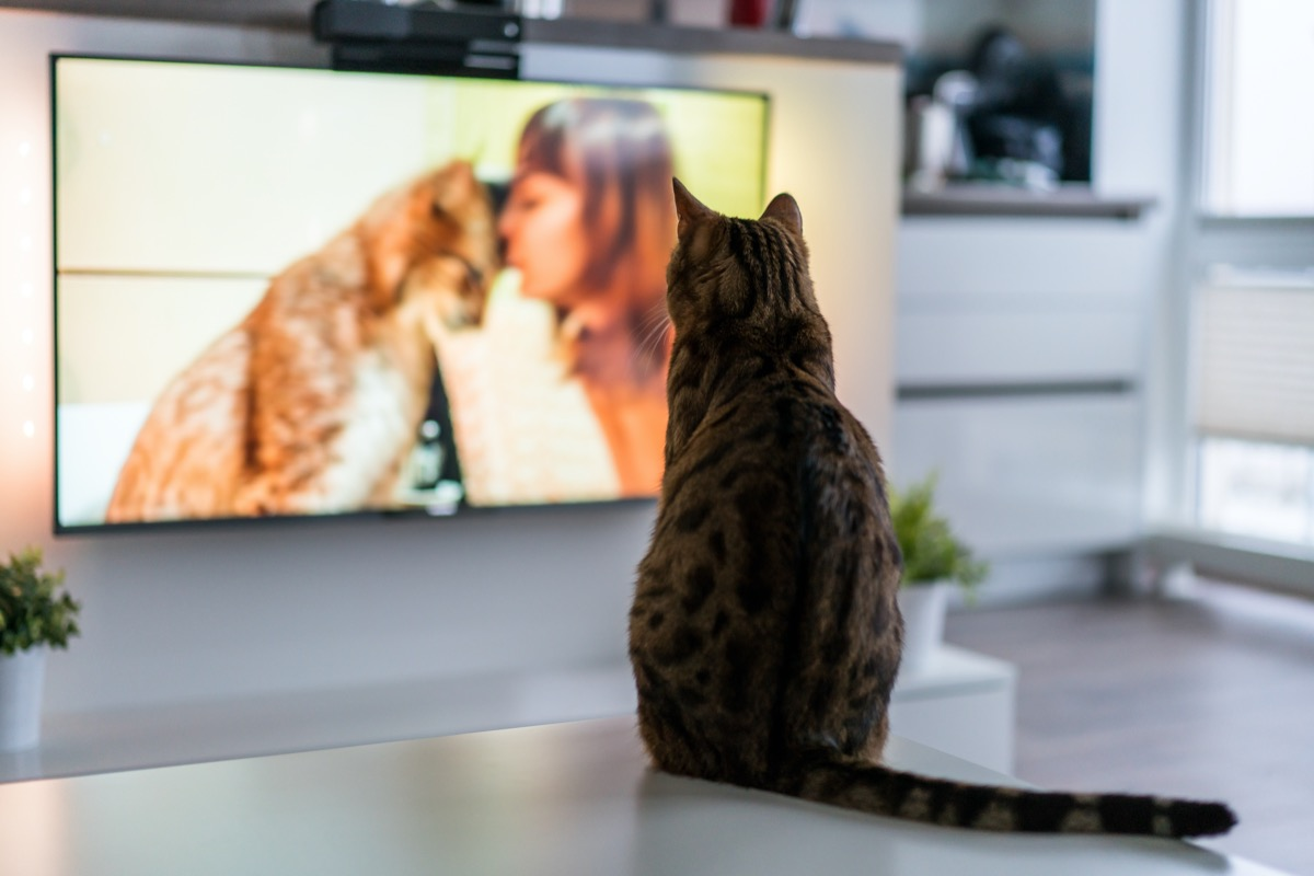 tabby cat watching a tv show about cats