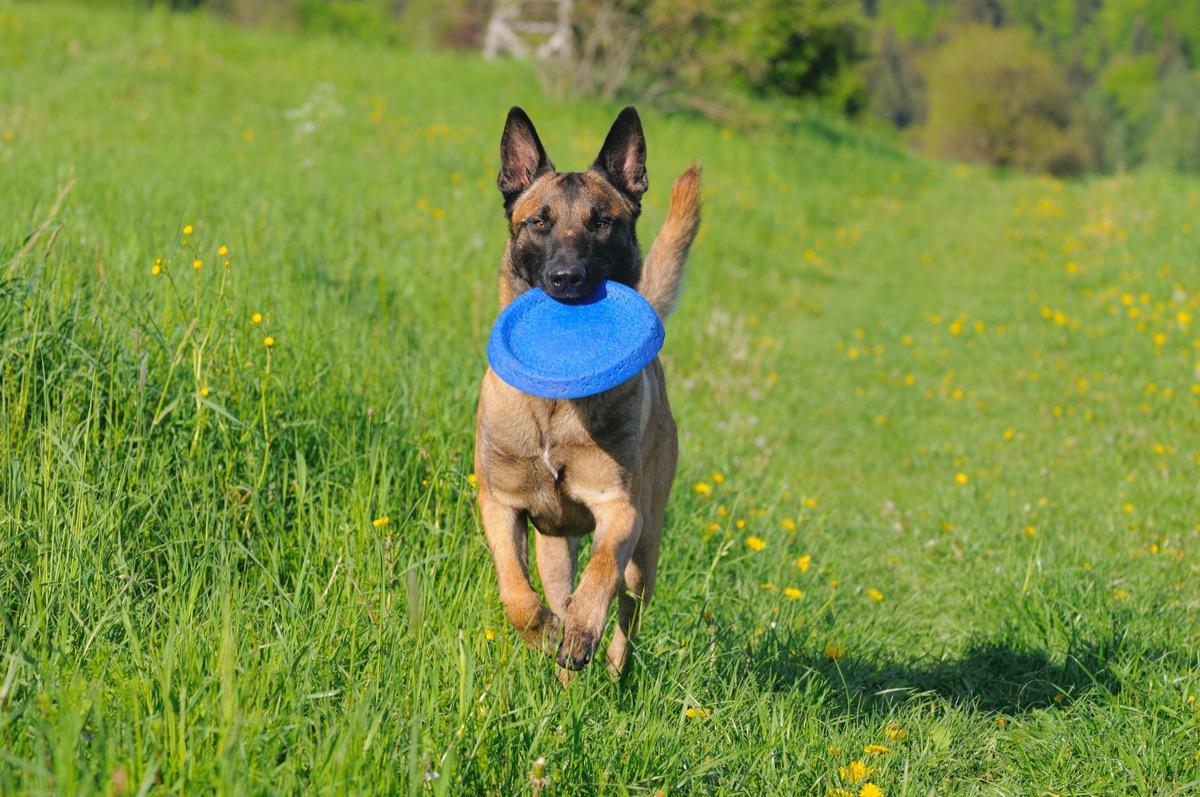 german shepherd puppy playing fetch
