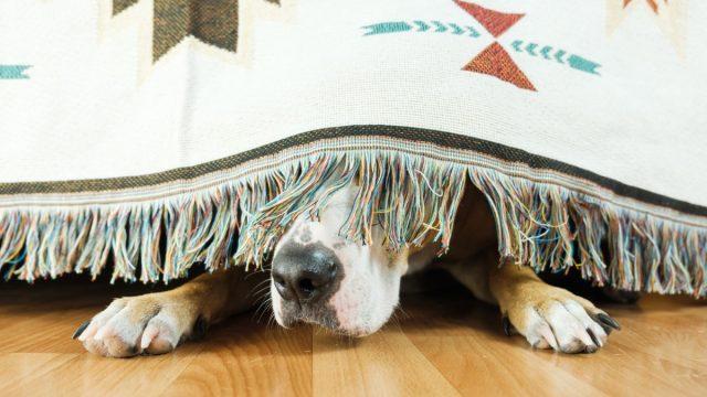 scared dog hiding under bed