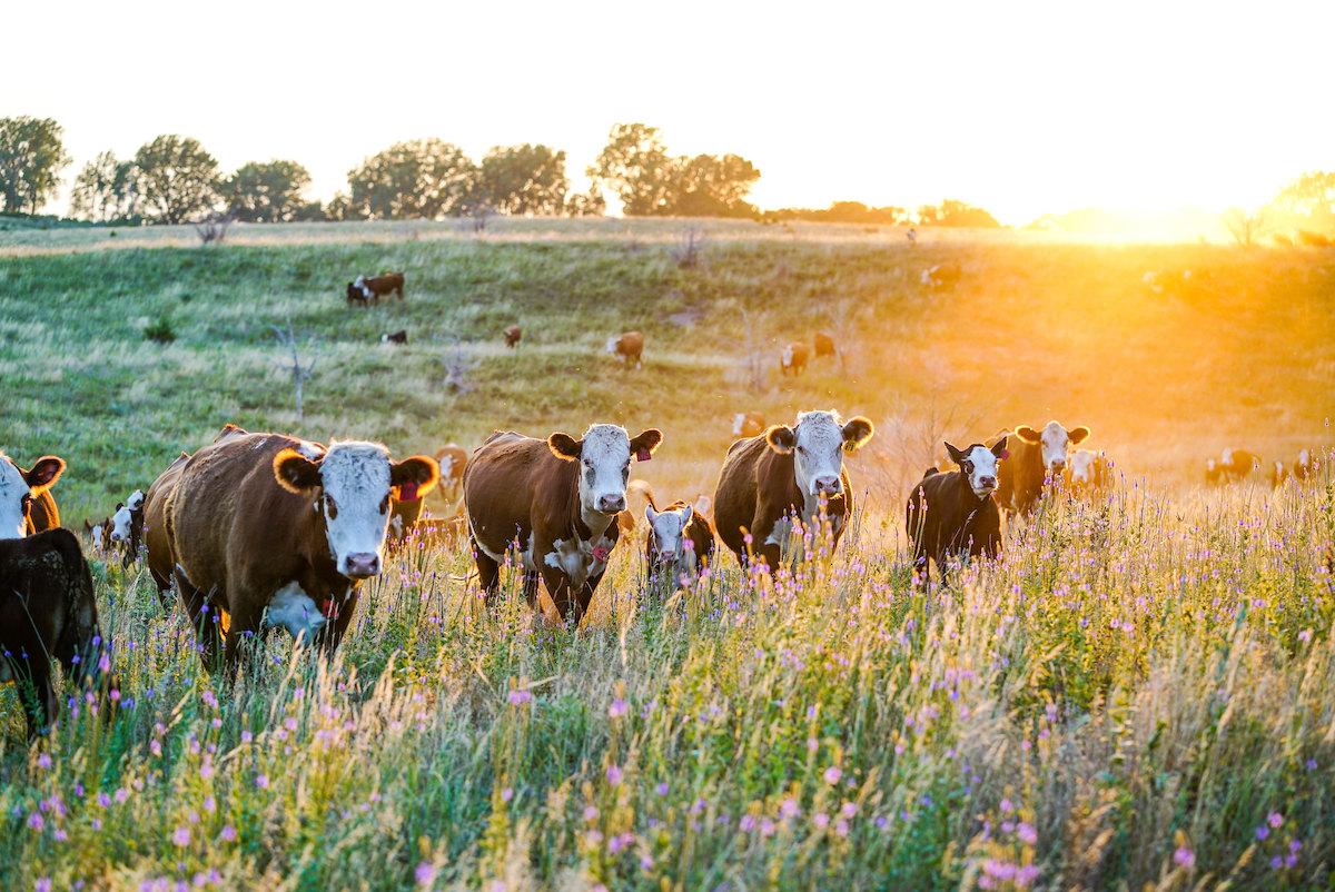 cows in pasture in thurston county, nebraska