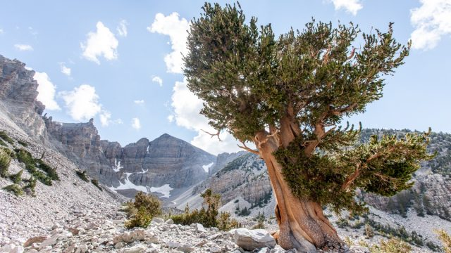 Landscape at Great Basin National Park, Nevada. Scenic view of Wheeler Peak. A large Bristlecone Pine tree in the foreground. A blue clouded sky above.