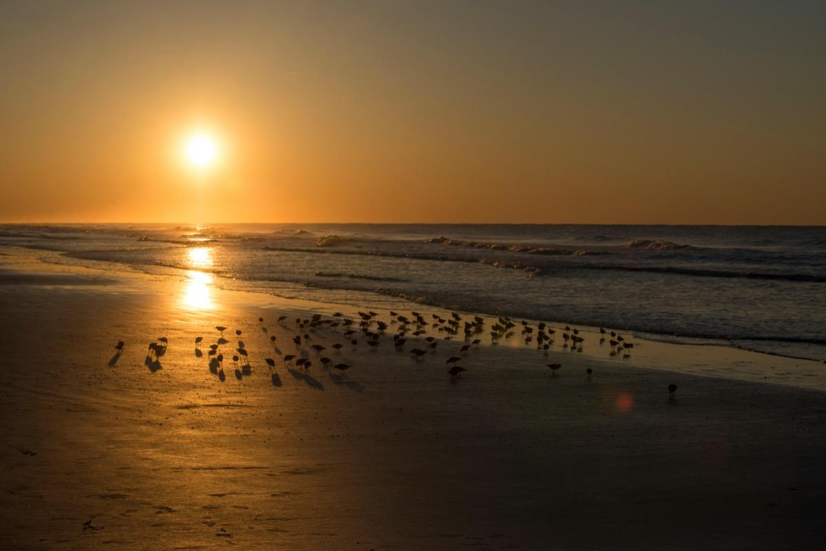 Red Knots and Sunrise over Atlantic Ocean, Sunset Beach, North Carolina