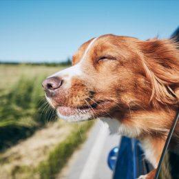 Dog enjoying open car window