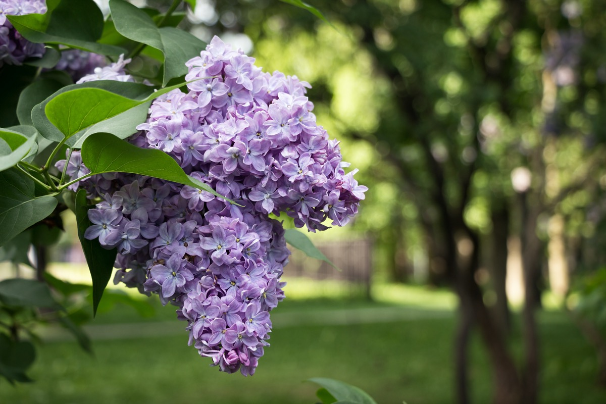 Lilacs on branch