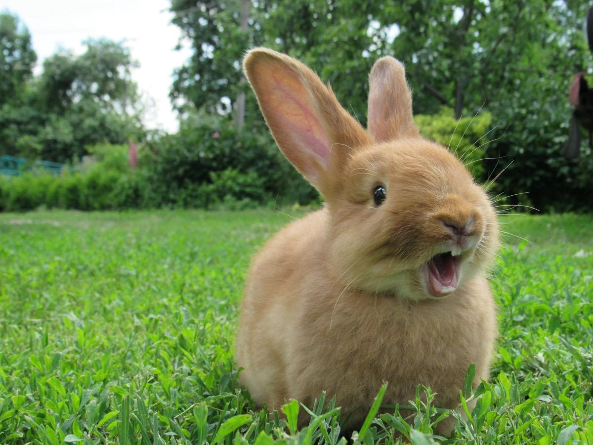 Red rabbit yawning
