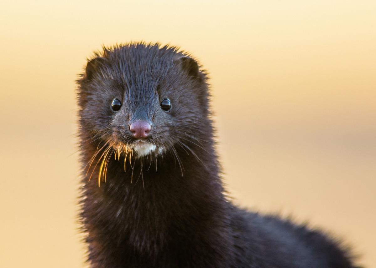 black mink looking around outside