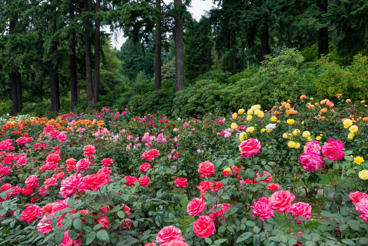 red, pink, orange, and yellow roses with a forest in the background