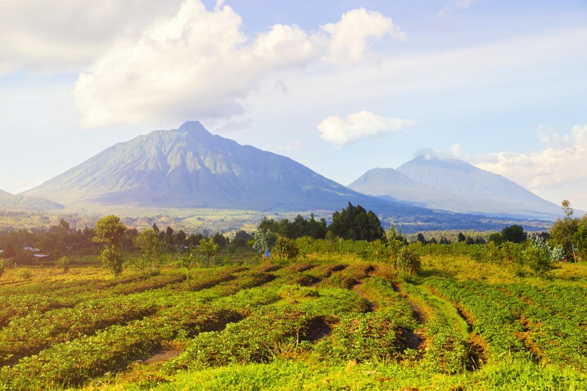 View of tea plantations and Virunga Mountains and Volcanoes in Rwanda