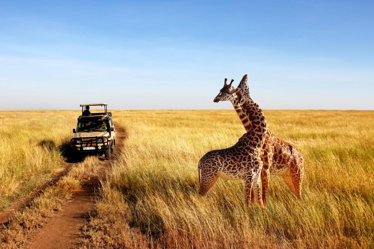 two giraffes and a safari jeep in serengeti national park in tanzania