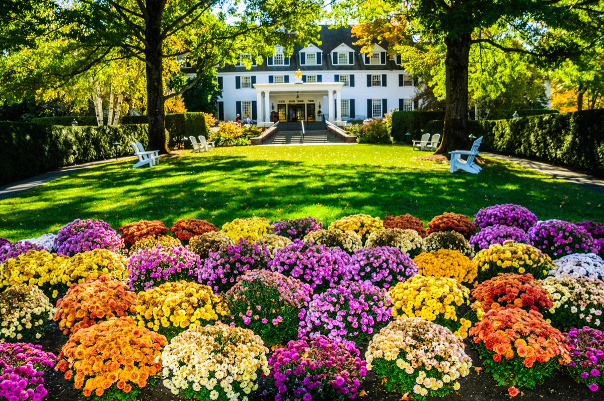A large array of colorful chrysanthemums greet visitors and guests of the beautiful and stately Woodstock Inn in Woodstock, Vermont.