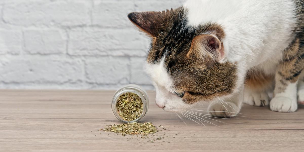 Cat sniffing bottle of catnip