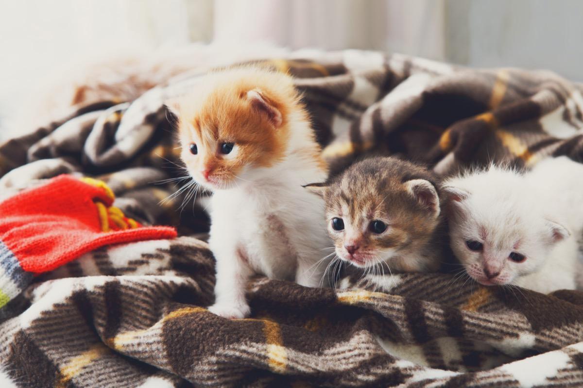 Kittens in blanket