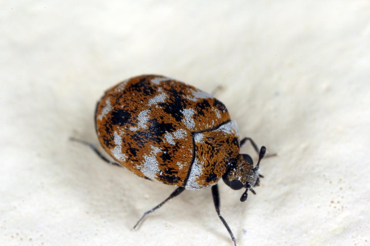 varied carpet beetle on white background