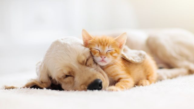 A kitten sleeping on top of a dog on a white carpet.