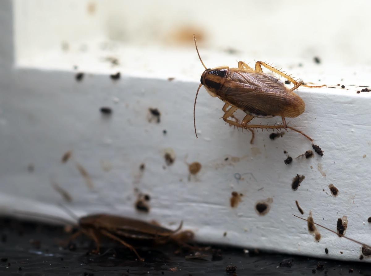 german cockroaches on windowsill