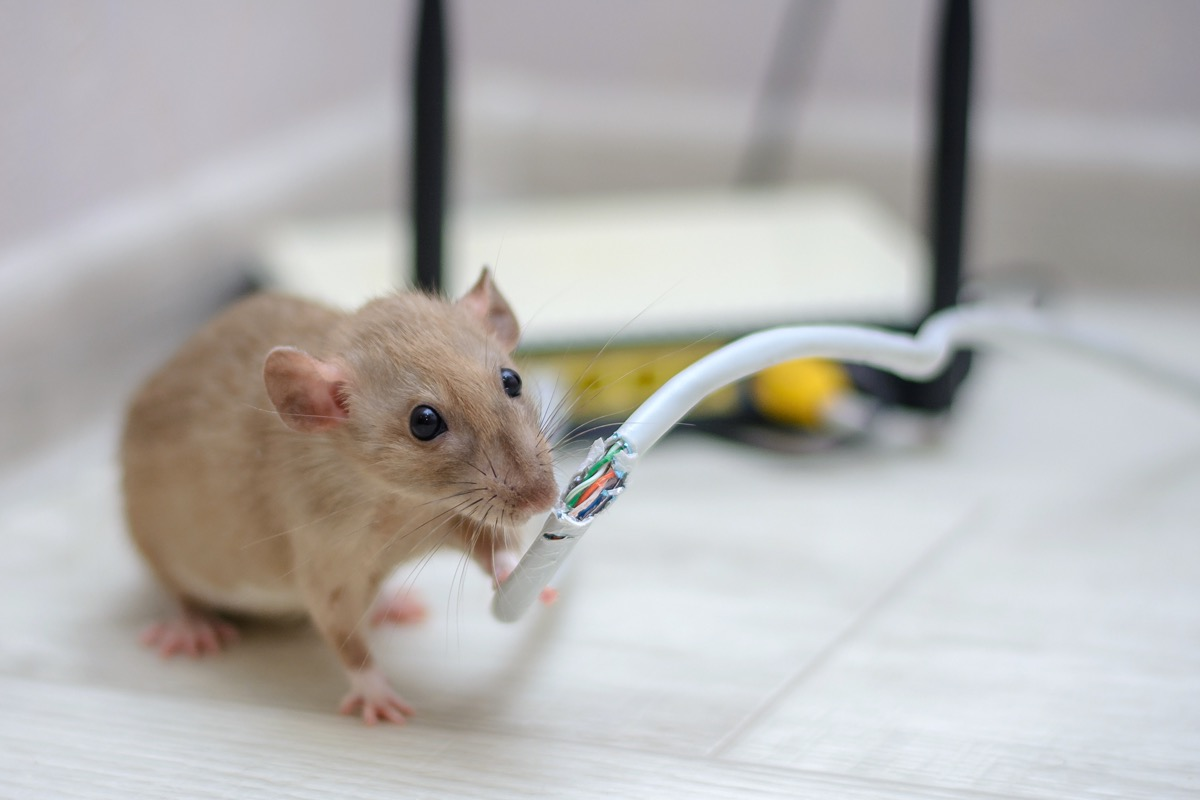 mouse chewing wire