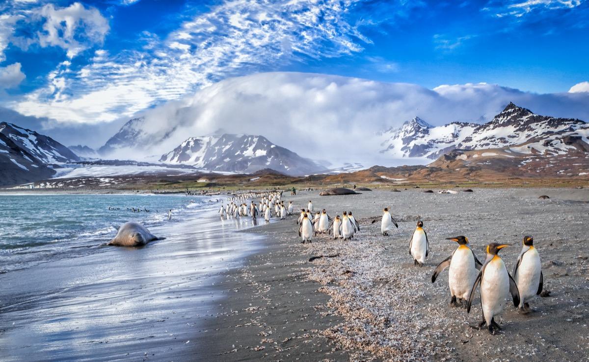 penguins walks on St. Andrews Bay on South Georgia