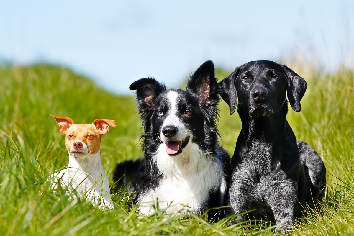 Purebred dogs outdoors on a sunny summer day.
