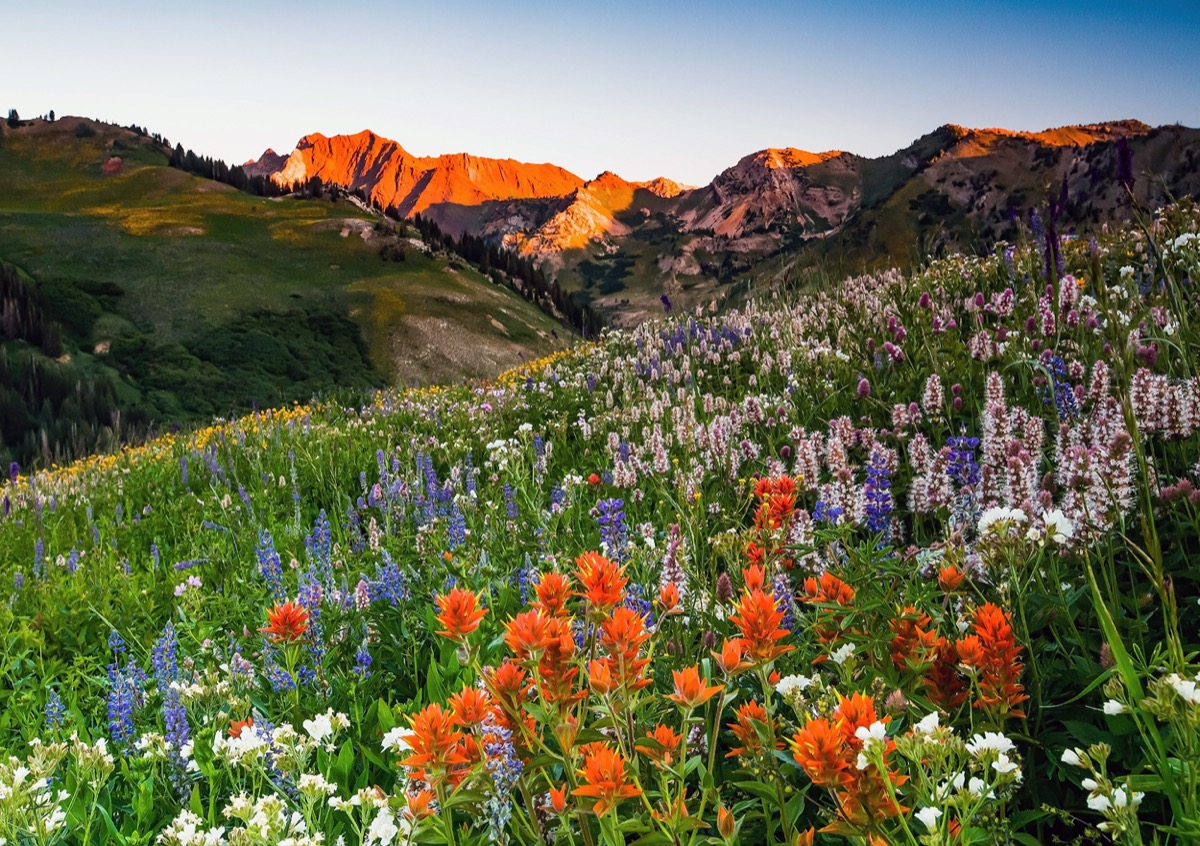 a field of pink, orange, and purple wildflowers and mountains in Alta, Utah