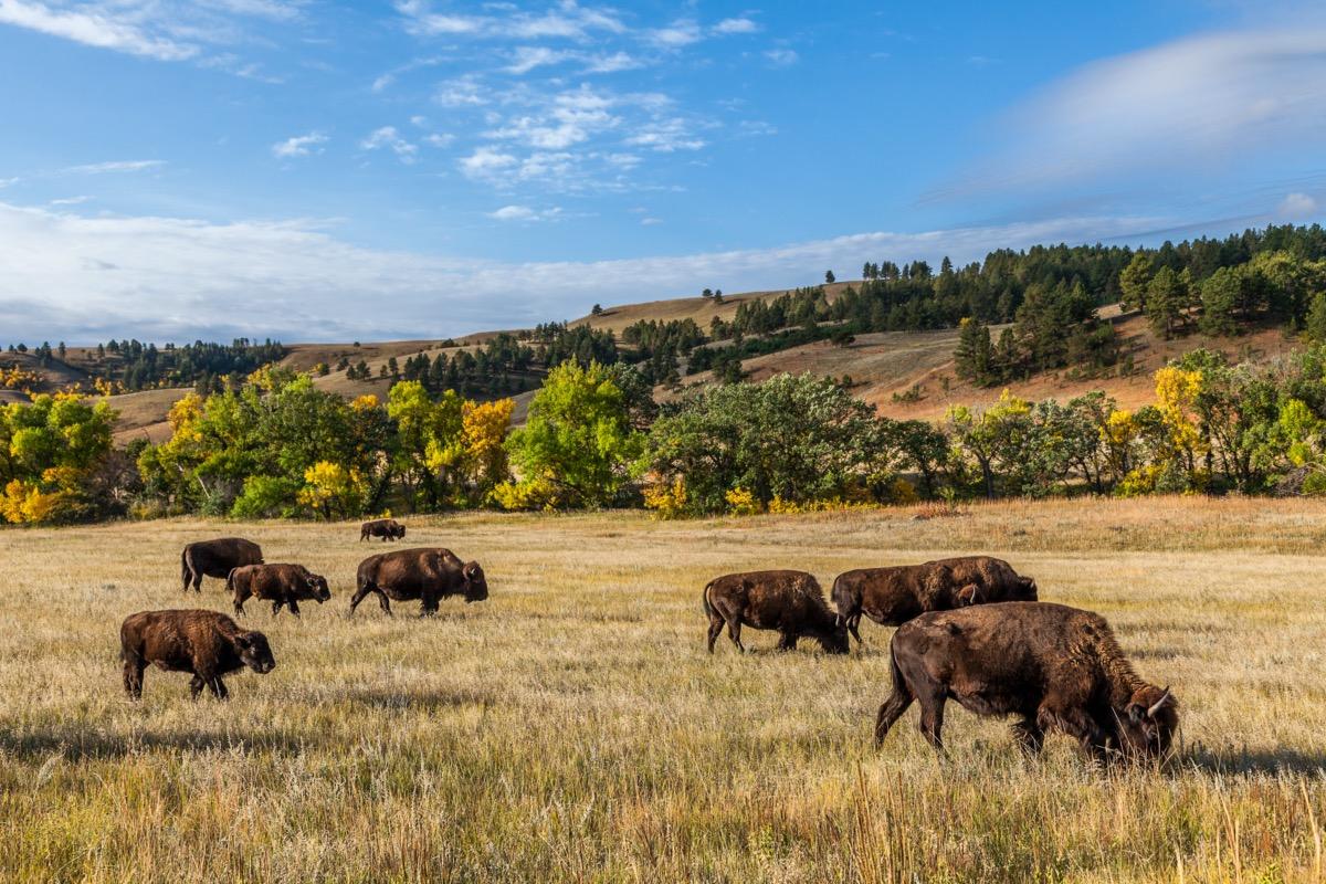 buffalo in custer state park, south dakota