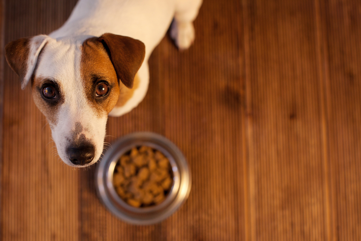 brown and white dog looking up at camera with bowl of food in front of him on wood floor