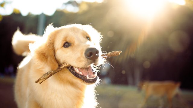 A happy golden retriever plays with a stick in the park