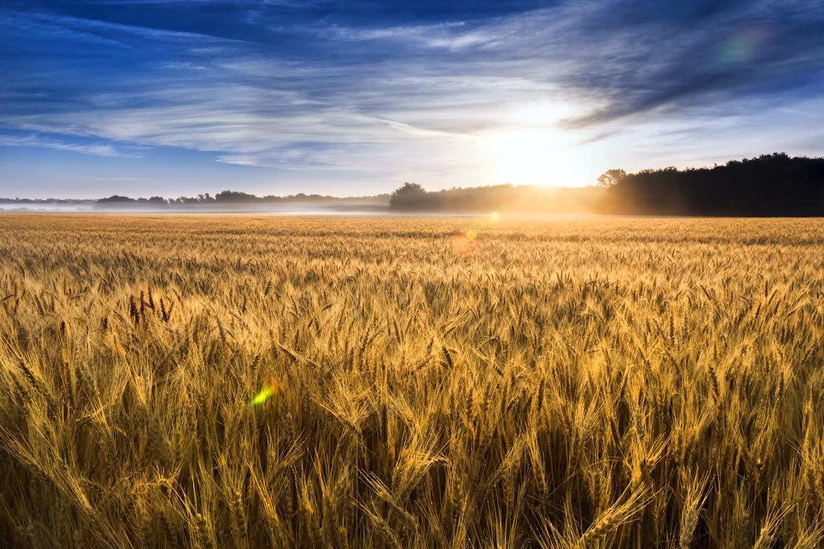 field of wheat in central Kansas is nearly ready for harvest.