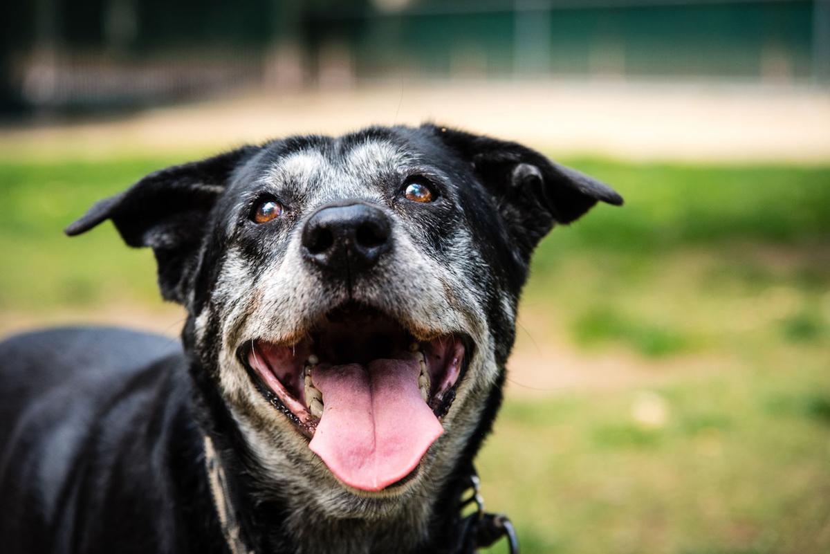 Senior dog smiling at public park