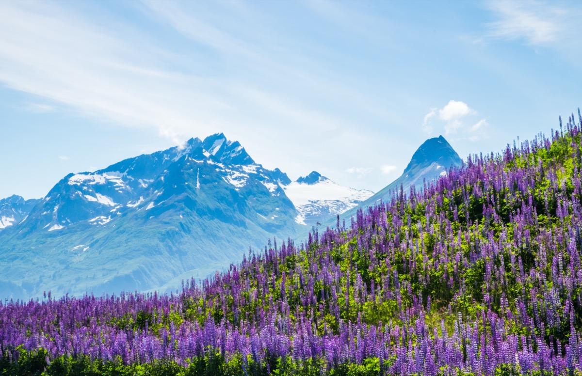 purple flowers and mountain in Valdez, Alaska
