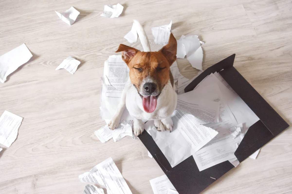 Dog chewing paper