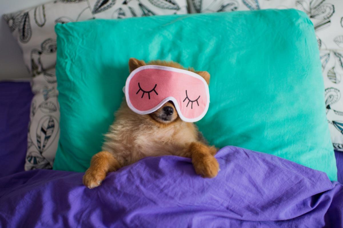 Pomeranian in sleep mask