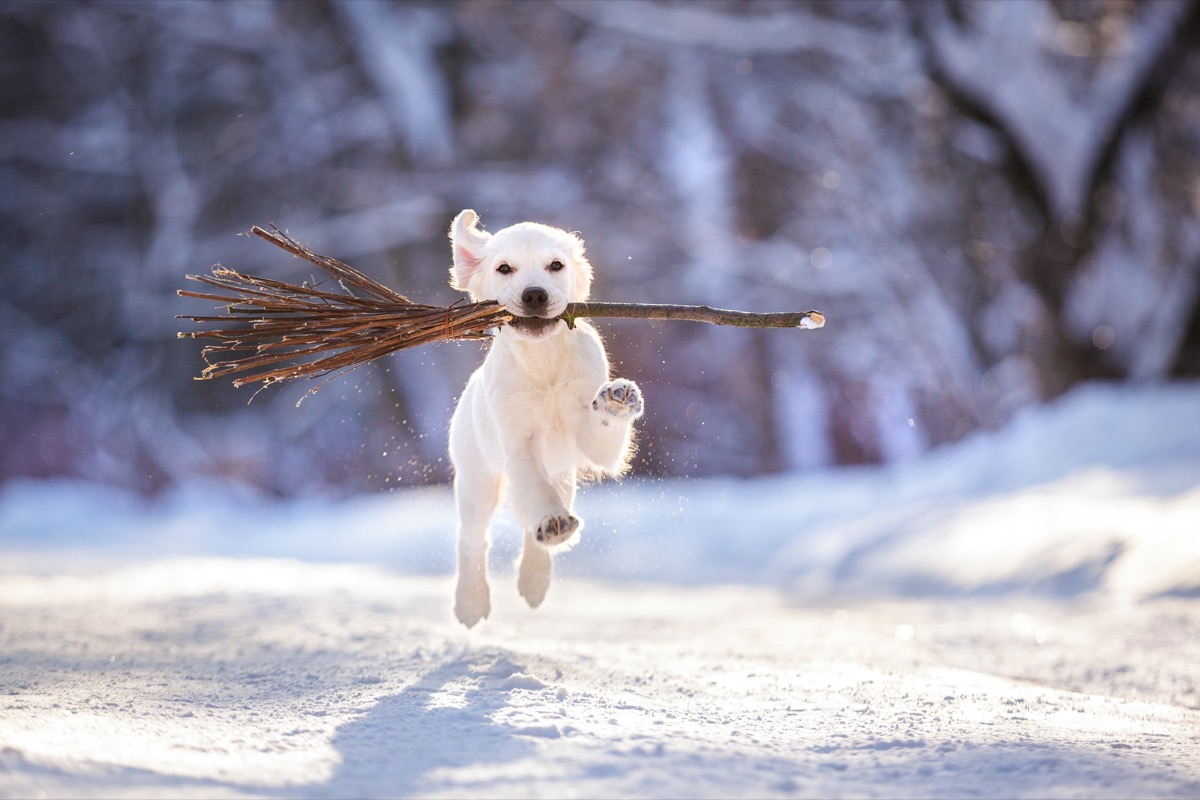 Puppy carrying sticks