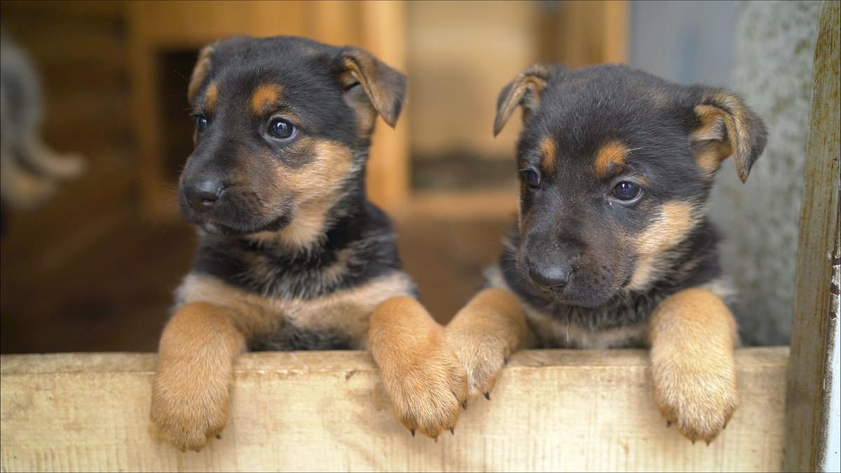 German shepherd puppies holding paws
